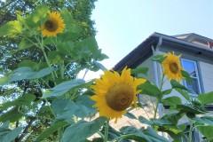 114.sunflowers328-21